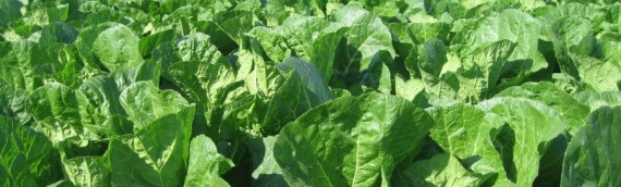 胃ガン・乳がん予防に白菜を食え!クックパッド人気レシピもご紹介