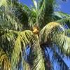 ココナッツオイルが身体に与える8つの効果