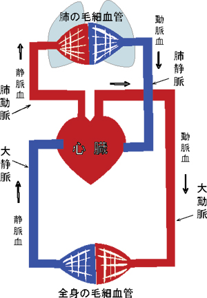 Blood-circulation2